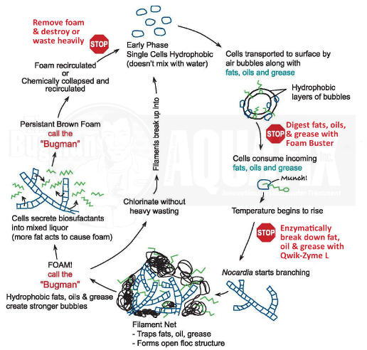 Nocardia Foam Cycle